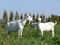 Goats. Three goats on grass field in sunny day Stock Image