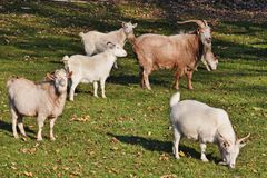 Goats. And goat male on the farm royalty free stock images