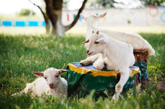 Goats. Resting on a stump goats. Nikon D40 Royalty Free Stock Images