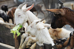 Goats. White ssgoats are eating vegetable stock photos