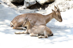 Goats. Mother and Young Markhor Mountain Goat Sitting Together Stock Photo