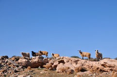 Goats. Stands on the rocks in Crete (Greece Royalty Free Stock Photos