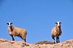 Goats. Stands on the rocks in Crete (Greece Stock Photography