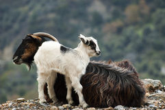 Goats. Goat with the little kid relaxing in the mountains Stock Photography