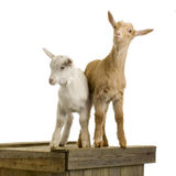 Goats. Standing up isolated on a white background stock photos