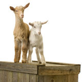 Goats. Standing up isolated on a white background stock photo