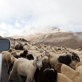 Goats. On tht road in Himalayas Mountains Royalty Free Stock Image