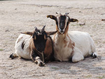 Goats. Two Goats in a Ranch stock photo