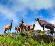 Goats. Wild goats in Himalaya mountains Stock Photo