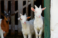 Goats. Three kid goats looking out from stable stock image
