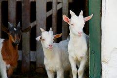 Free Goats Stock Image - 24919071