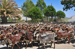 Goats. A herd of goats in Spain Royalty Free Stock Photos