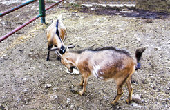 Goats. Two goats butting each other on the farm Royalty Free Stock Photography