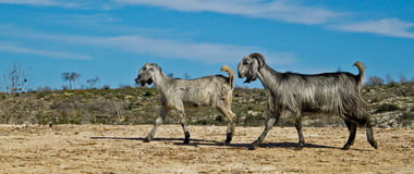 Goats. Two gray goats walking on the field Royalty Free Stock Images