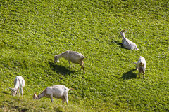 Goats Royalty Free Stock Photo