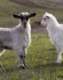 Goats. Grazing on the first spring Stock Photo