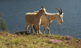 Goats. Goats find their food on the edge of the cliff. Karelia. Ladoga lake. The Islands Royalty Free Stock Images
