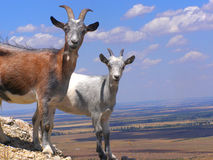 Goats. Couple of Goats Climbed on the Top of Agarmysh Mountain, Crimea stock images