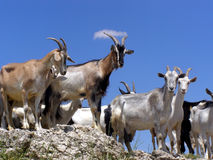 Goats. Herd of Goats Climbed on the Top of Agarmysh Mountain, Crimea royalty free stock photos