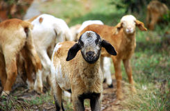 Goats. Group of goats eating a dry food stock photos