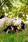Goats. Herd of goats in a field Royalty Free Stock Image