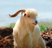 Goats. A goat of expression and good Stock Images