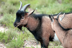 Goats. Two goats standing alone on the vegetation royalty free stock photography