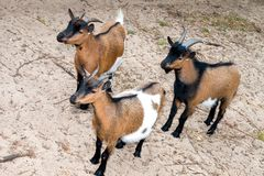 Goats. A closeup view from three goats standing on the sand royalty free stock photos