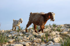 Goats Stock Photography