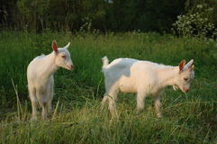 Goats. Two little Saanen goatlings graze on the grass Royalty Free Stock Images