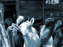 Goats. Curious goats looking up in the sky Royalty Free Stock Photo