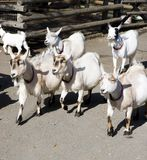 Goats. Group of goats walking together in petting zoo Stock Photo