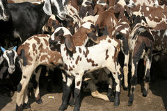 Goats. Group of goats in field Royalty Free Stock Image