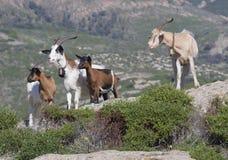 Goats. Sardinia, Italy Stock Photography