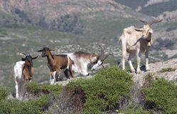 Goats. Sardinia, Italy Stock Photos