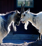 Goats. Two goats standing head to head with each other royalty free stock photography