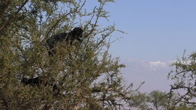 Goats in Africa climb tree. Moroccan goats climb thorny argan tree for feeding. Snowy High Atlas mountains in the background stock video footage