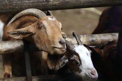 Goats, animal garden, Lohberg, Germany Stock Photography