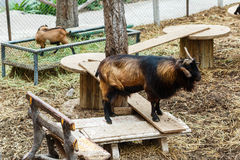 Goats,animal,zoo. Royalty Free Stock Photos