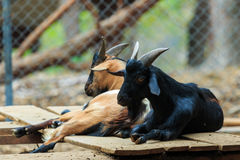 Goats,animal,zoo. Stock Images