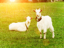 Goats animals house Royalty Free Stock Photography
