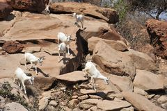 Goats in the area of the caves Las Gil. Complex of caves Las Gil with petroglyphs one of the monuments of ancient culture in Africa, its approximate age about 10 Stock Photo