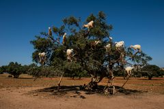 Goats in Argan Argania spinosa tree, Morocco. Goats in Argan Argania spinosa tree as seen in Morocco. Tamri goats climbing argan tree with goat herders in the royalty free stock images