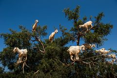 Goats in Argan Argania spinosa tree, Morocco. Goats in Argan Argania spinosa tree as seen in Morocco. Tamri goats climbing argan tree with goat herders in the stock photo