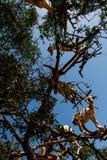 Goats in Argan Argania spinosa tree, Morocco seen from below. Goats in Argan Argania spinosa tree as seen in Morocco. Tamri goats climbing argan tree with goat royalty free stock image