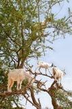 Goats on argan tree, Essaouira, Morocco Royalty Free Stock Photography