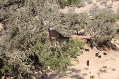 Goats in argan tree, Morocco Royalty Free Stock Photography