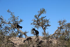 Goats in argan tree, Morocco Stock Photos