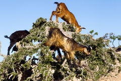 Goats on argan tree. Goats on argan tree in Morocco Stock Images