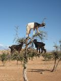 Goats in Argan tree, Morocco. Black and white goats in Argan tree, Morocco stock image